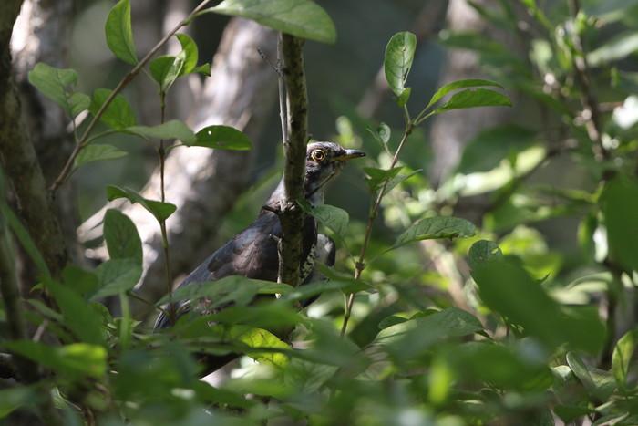 MFの森の水場の近くへ(ツツドリの木登り)_f0239515_163054.jpg