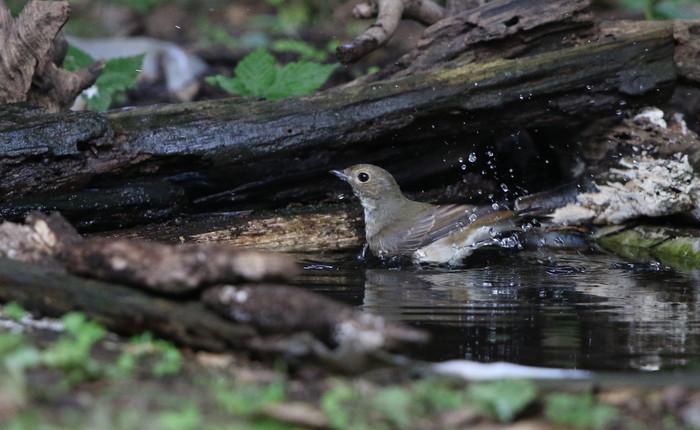 MFの森の水場キビタキ雌(水浴び)_f0239515_16423956.jpg