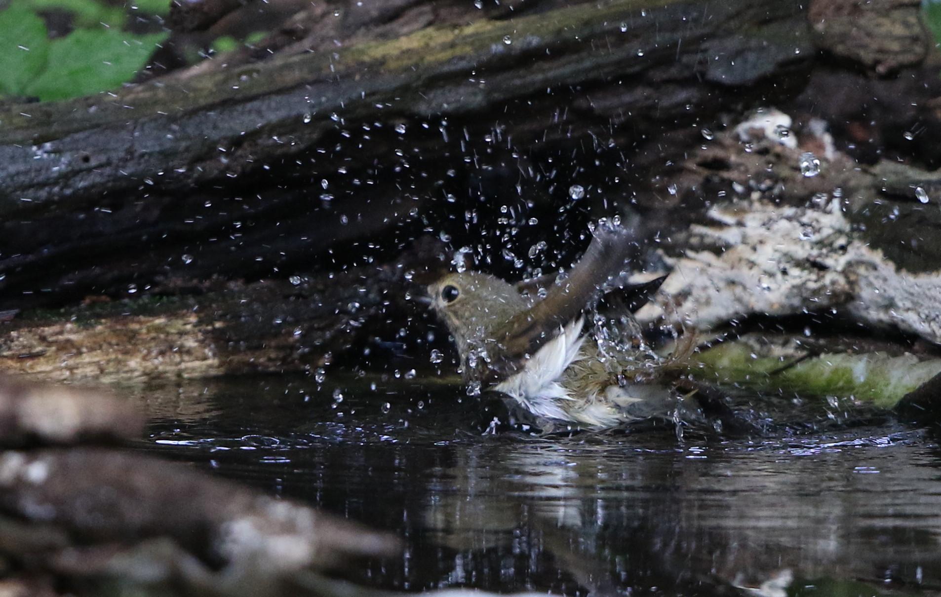 MFの森の水場キビタキ雌(水浴び)_f0239515_16452433.jpg