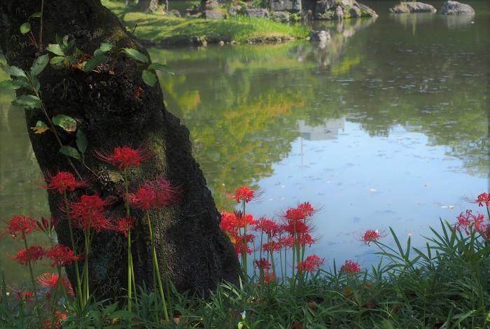 小石川後楽園の彼岸花 ☆_d0146247_16293845.jpg