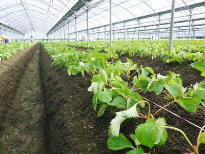 熊本限定栽培品種のイチゴ『熊紅(ゆうべに)』定植後の様子 令和元年度は12月上旬から出荷予定!_a0254656_16560073.jpg