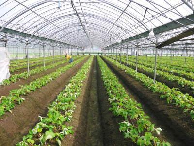 熊本限定栽培品種のイチゴ『熊紅(ゆうべに)』定植後の様子 令和元年度は12月上旬から出荷予定!_a0254656_16592280.jpg