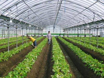 熊本限定栽培品種のイチゴ『熊紅(ゆうべに)』定植後の様子 令和元年度は12月上旬から出荷予定!_a0254656_17044646.jpg
