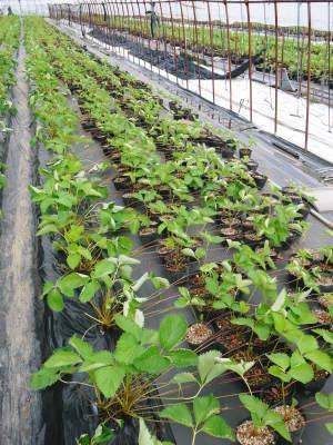 熊本限定栽培品種のイチゴ『熊紅(ゆうべに)』定植後の様子 令和元年度は12月上旬から出荷予定!_a0254656_17095158.jpg