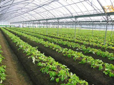 熊本限定栽培品種のイチゴ『熊紅(ゆうべに)』定植後の様子 令和元年度は12月上旬から出荷予定!_a0254656_17255343.jpg
