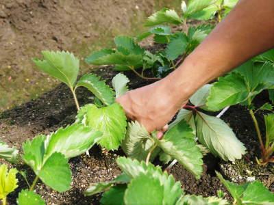熊本限定栽培品種のイチゴ『熊紅(ゆうべに)』定植後の様子 令和元年度は12月上旬から出荷予定!_a0254656_17554498.jpg