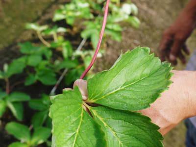 熊本限定栽培品種のイチゴ『熊紅(ゆうべに)』定植後の様子 令和元年度は12月上旬から出荷予定!_a0254656_17572514.jpg