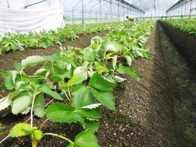 熊本限定栽培品種のイチゴ『熊紅(ゆうべに)』定植後の様子 令和元年度は12月上旬から出荷予定!_a0254656_18162047.jpg