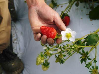 熊本限定栽培品種のイチゴ『熊紅(ゆうべに)』定植後の様子 令和元年度は12月上旬から出荷予定!_a0254656_18202633.jpg