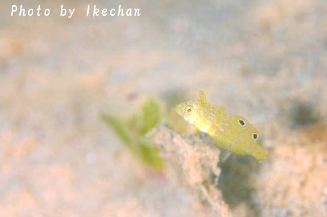 初対面は楽しい ~ホウキボシテンス幼魚~_a0155467_08004132.jpg