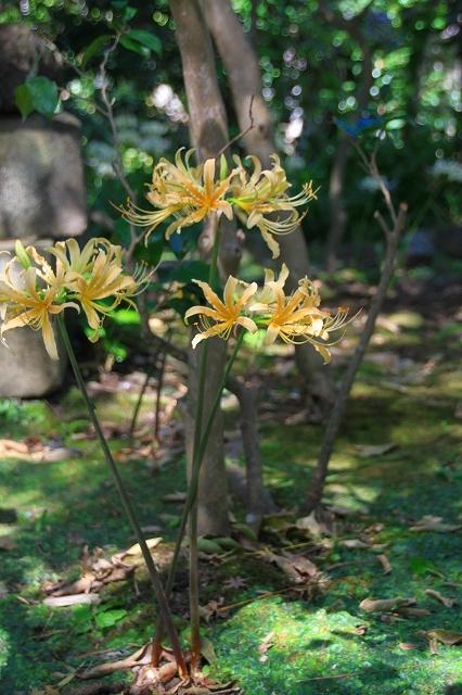 鎌倉の秋の花 宝戒寺 彼岸花_f0374092_16342775.jpg