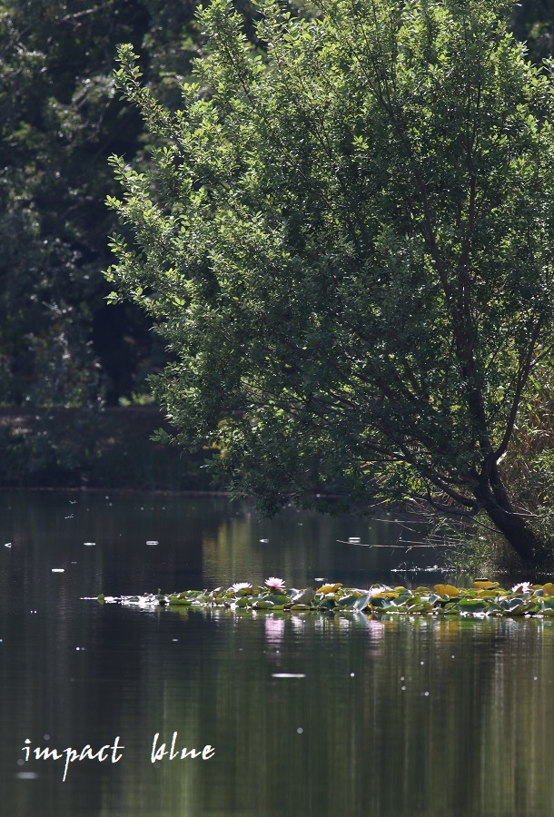 睡蓮の咲く公園に行ってみた(^^)/_a0355908_13071736.jpg