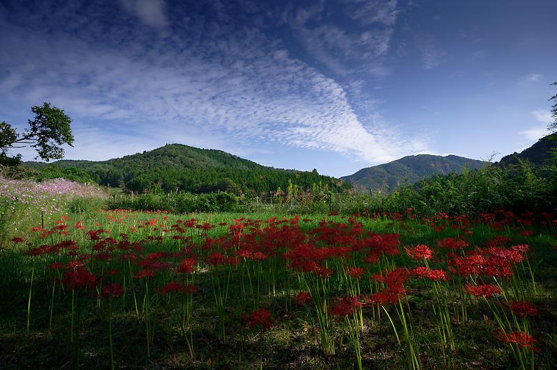 秋空のコスモ@豊能コスモスの里_f0032011_19371042.jpg