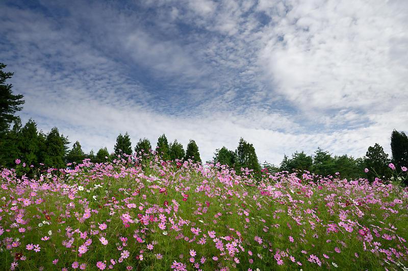 秋空のコスモ@豊能コスモスの里_f0032011_19413223.jpg