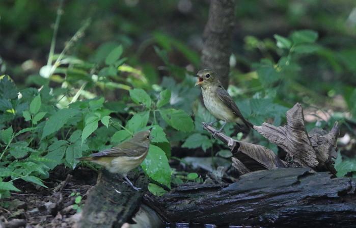 MFの森の水場にてキビタキ2羽幼鳥?_f0239515_15162459.jpg