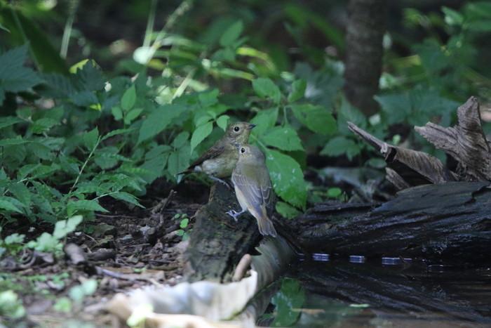 MFの森の水場にてキビタキ2羽幼鳥?_f0239515_15172348.jpg
