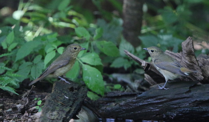 MFの森の水場にてキビタキ2羽幼鳥?_f0239515_15183828.jpg