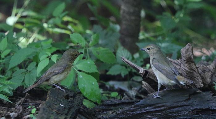 MFの森の水場にてキビタキ2羽幼鳥?_f0239515_1518643.jpg
