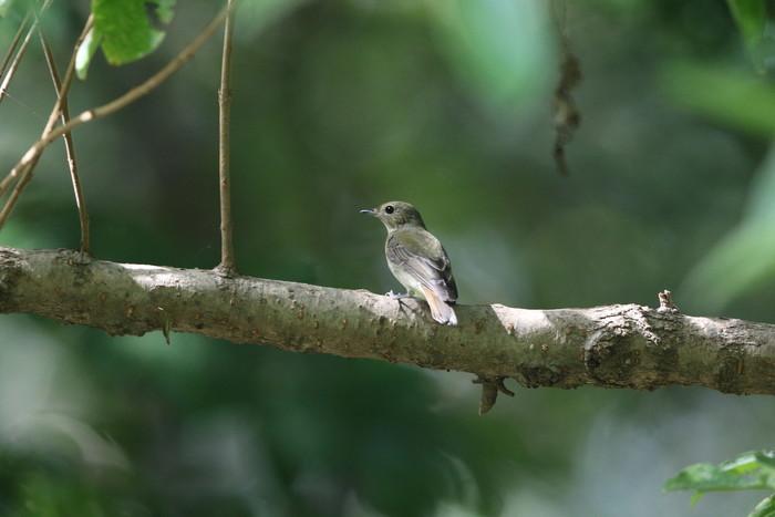 MFの森の水場にてキビタキ2羽幼鳥?_f0239515_15191180.jpg