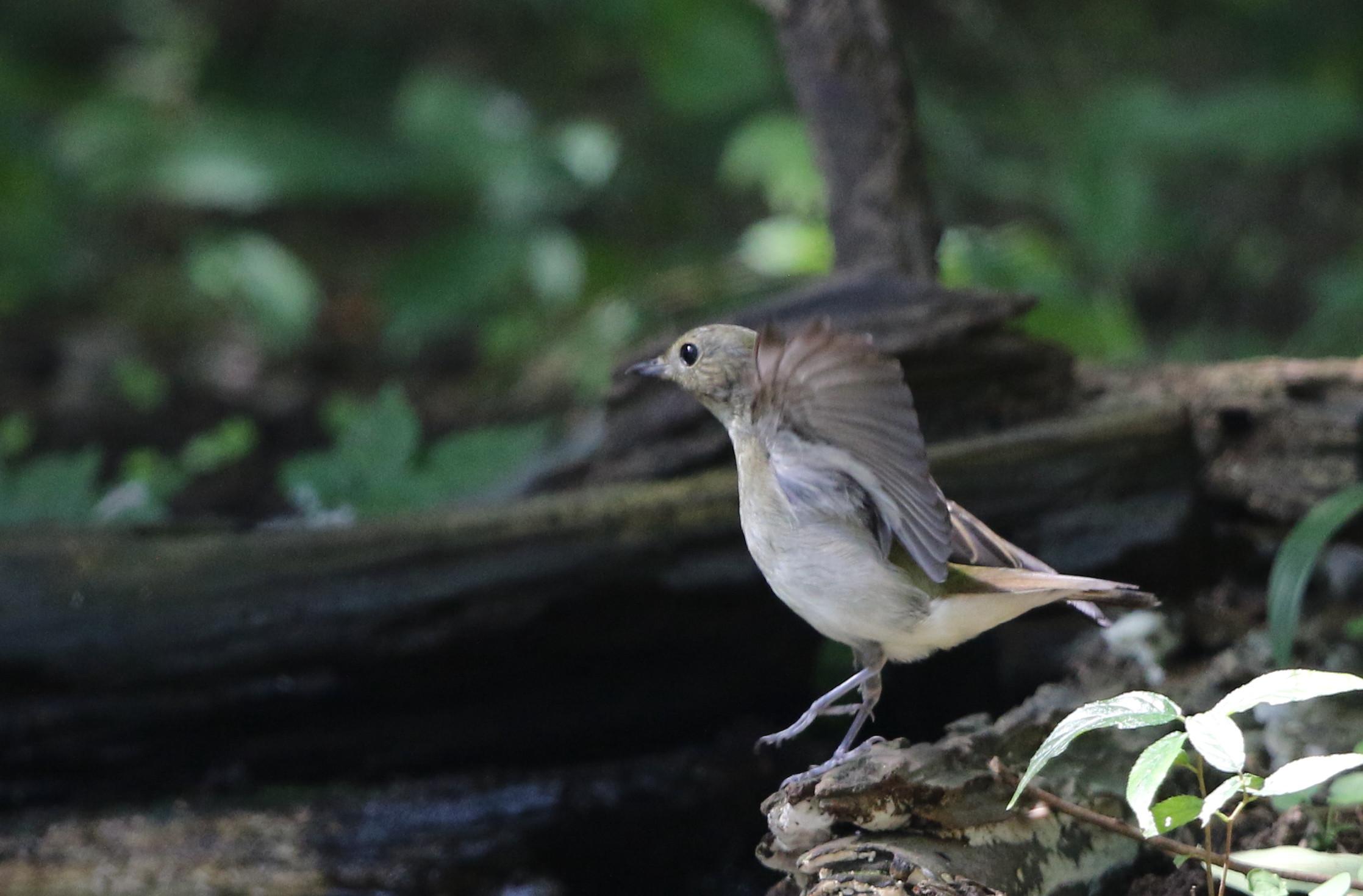 MFの森の水場にてキビタキ2羽幼鳥?_f0239515_15201922.jpg