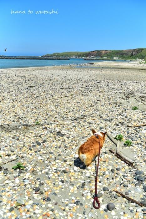 夏の浜辺でハナ散歩_e0120026_12353406.jpg