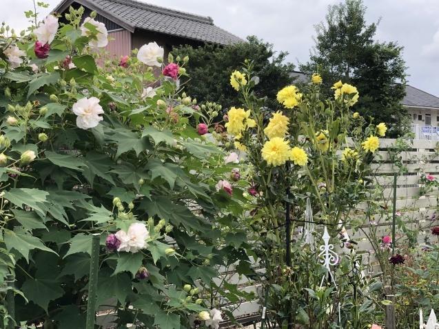 10月上旬の庭の様子「ダリア」「ロシアンセージ」「ムクゲ」_a0243064_18492079.jpg