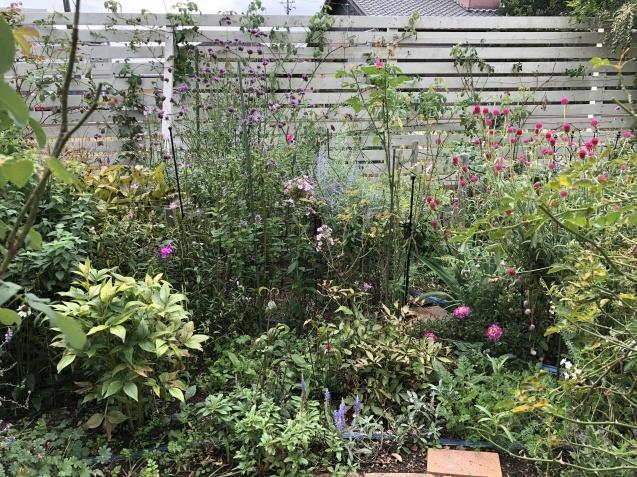 10月上旬の庭の様子「ダリア」「ロシアンセージ」「ムクゲ」_a0243064_18523111.jpg