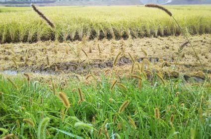 雨の日は、稲刈はお休みになります_b0126182_23003431.jpg