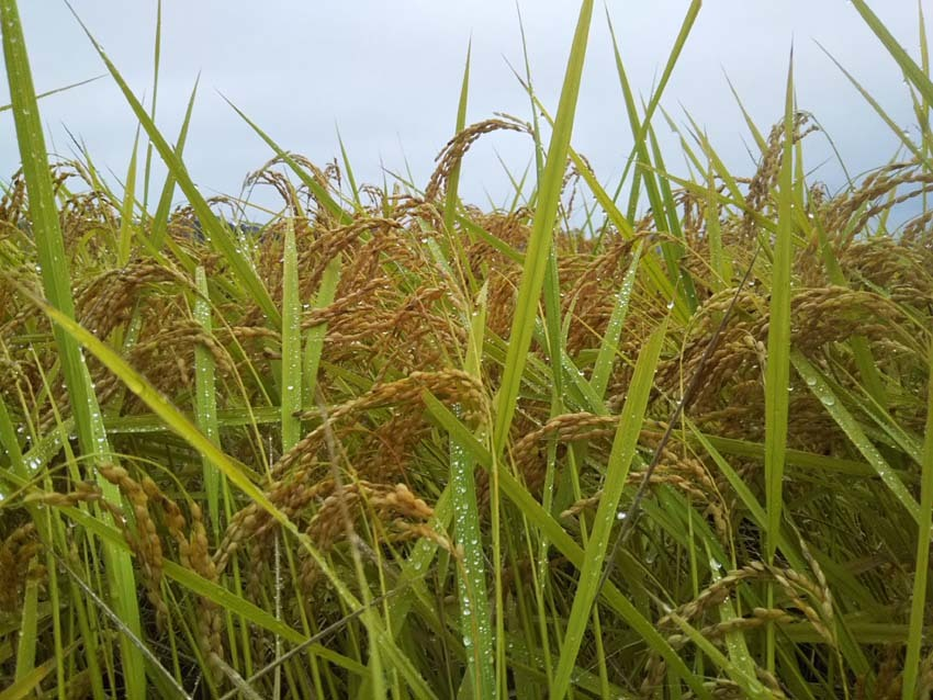 雨の日は、稲刈はお休みになります_b0126182_23005170.jpg