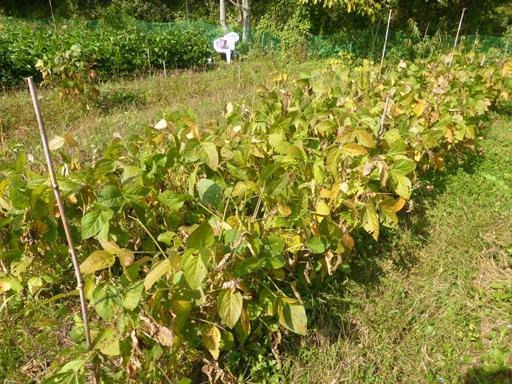 自然農畑 9月下旬~10月上旬_d0366590_19335574.jpg
