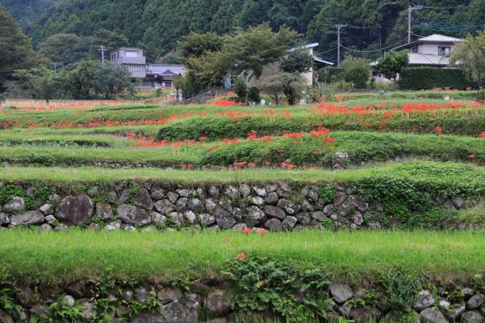 【日向地区彼岸花群生地】_f0348831_07505493.jpg