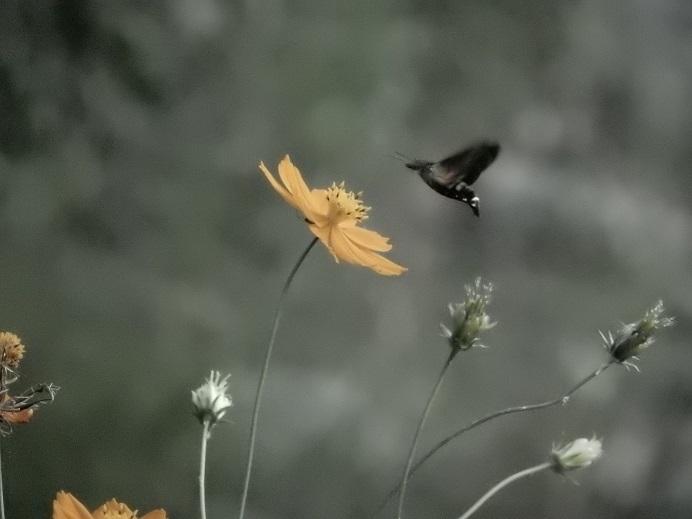ハチドリのようにホバリングする蛾_e0175370_23140248.jpg