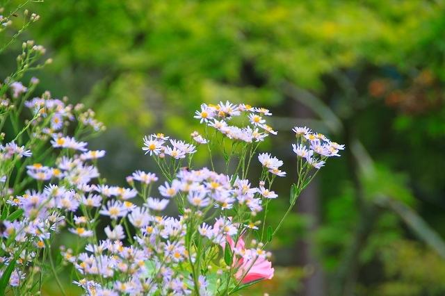 鎌倉の秋の花 海蔵寺 秋の花_f0374092_16213480.jpg