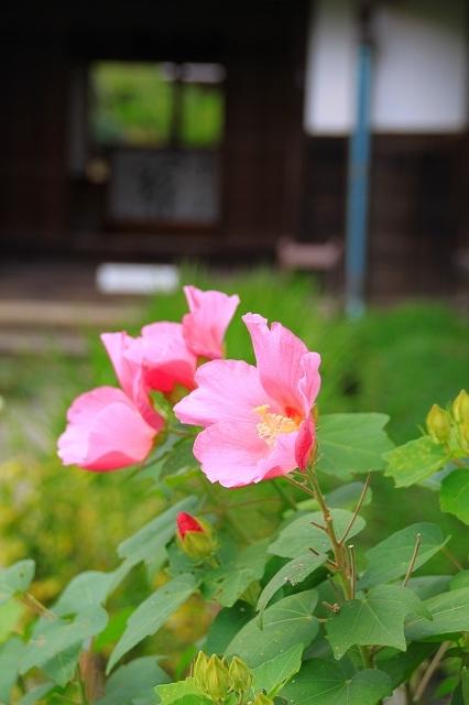 鎌倉の秋の花 海蔵寺 秋の花_f0374092_16225697.jpg