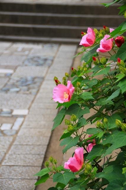 鎌倉の秋の花 海蔵寺 秋の花_f0374092_16261338.jpg
