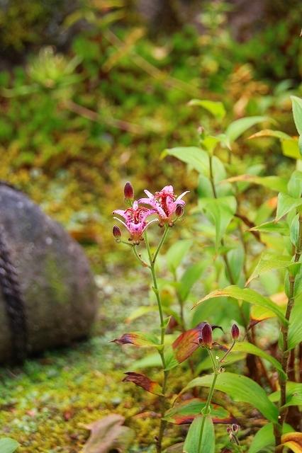 鎌倉の秋の花 海蔵寺 秋の花_f0374092_16263104.jpg