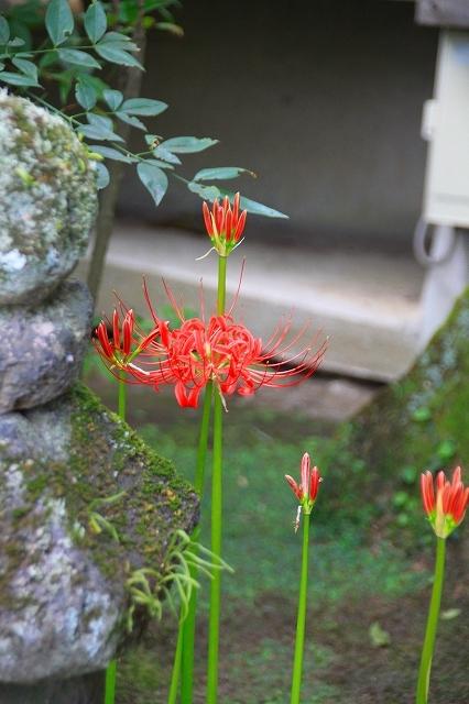 鎌倉の秋の花 海蔵寺 秋の花_f0374092_16274770.jpg