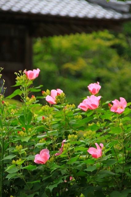鎌倉の秋の花 海蔵寺 秋の花_f0374092_16293179.jpg