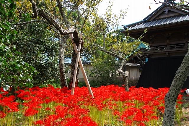 鎌倉の秋の花 英勝寺の彼岸花_f0374092_21351362.jpg