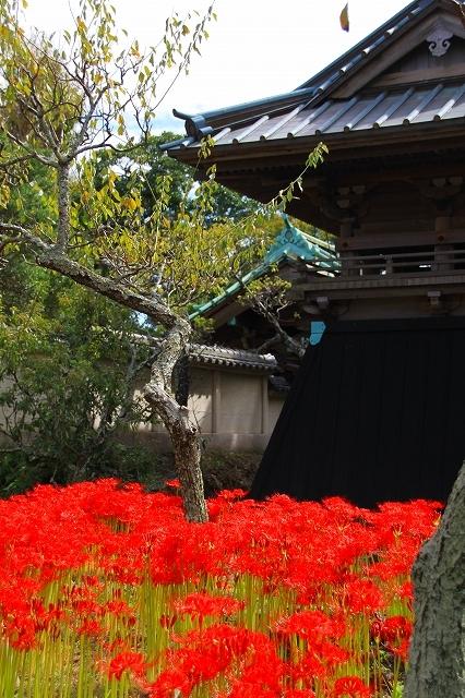 鎌倉の秋の花 英勝寺の彼岸花_f0374092_21372959.jpg