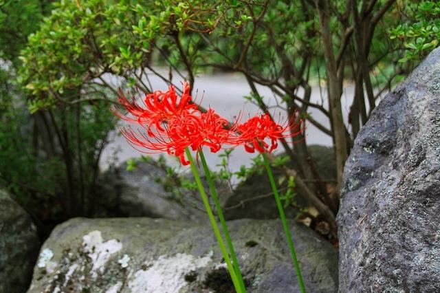 鎌倉の秋の花 英勝寺の彼岸花_f0374092_21391516.jpg