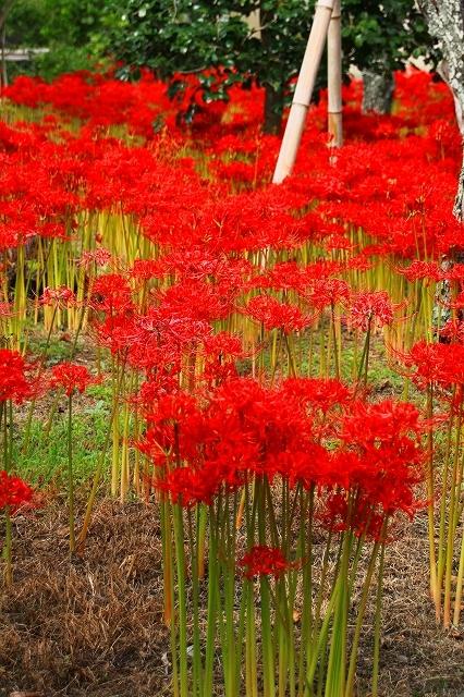 鎌倉の秋の花 英勝寺の彼岸花_f0374092_21405549.jpg