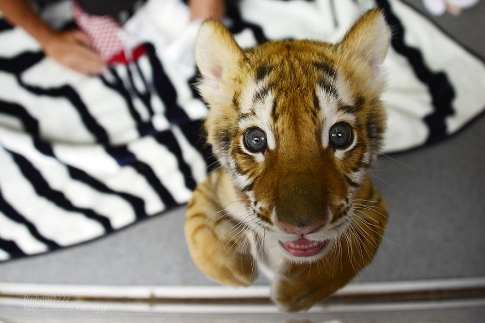 2019.9.22 東北サファリパーク☆トラのリラちゃま【Tiger】_f0250322_1921224.jpg