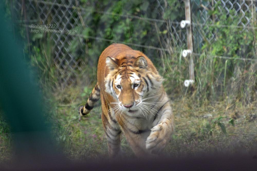 2019.9.22 東北サファリパーク☆トラのリラちゃま【Tiger】_f0250322_1922814.jpg