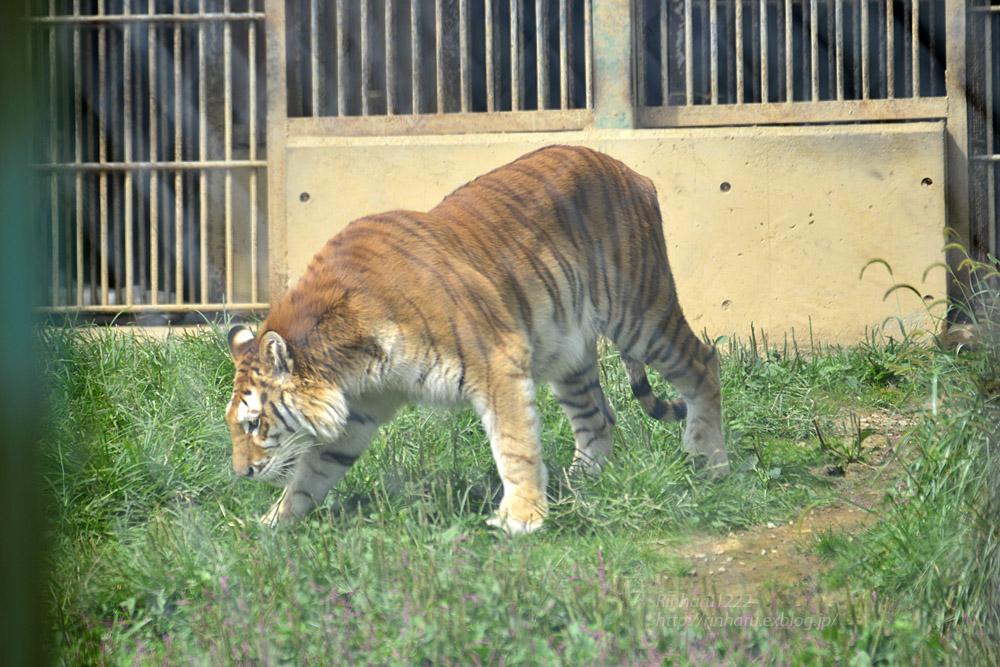 2019.9.22 東北サファリパーク☆トラのリラちゃま【Tiger】_f0250322_1923771.jpg