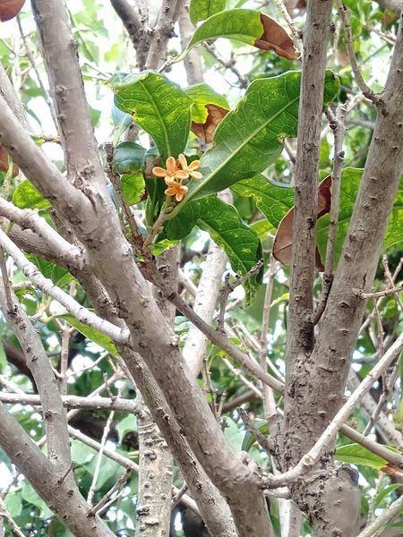 キンモクセイが咲かない_c0162128_14330791.jpg