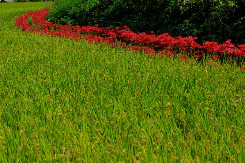 橘寺周辺の彼岸花光景_f0155048_17205877.jpg
