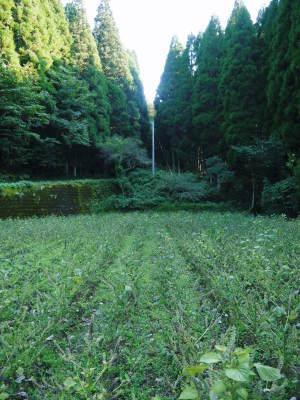 無農薬・無化学肥料で育てる「菊池水源産エゴマ」 令和元年度の『白エゴマ』を収穫しました!_a0254656_18220684.jpg
