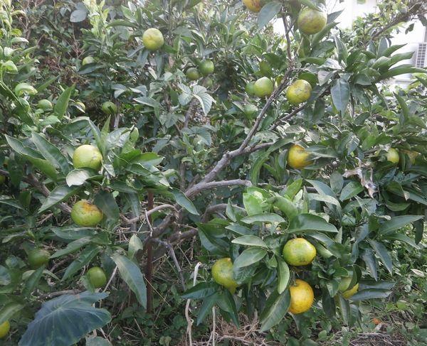秋の収穫、蜜柑&黒豆&落花生_f0018078_18185644.jpg