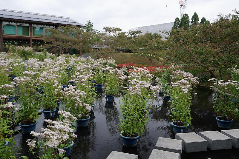 藤袴と和の花展@梅小路公園朱雀の庭_f0032011_20123673.jpg